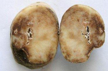 Пошаговая инструкция по подготовке клубней картофеля к посадке. Подготовка картофеля к посадке – отбор, проращивание, озеленение