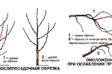 Схема обрезки вишни для начинающих осенью