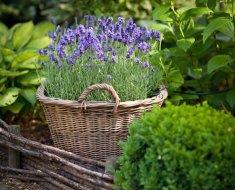 Как посадить лаванду в саду