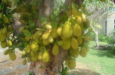Хлебное дерево - плоды, применение, состав