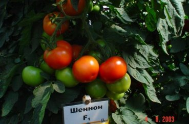 Выращивание индетерминантных сортов томатов в теплице