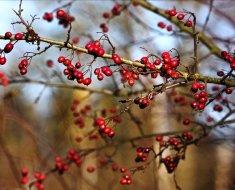 Спелые ягоды боярышника