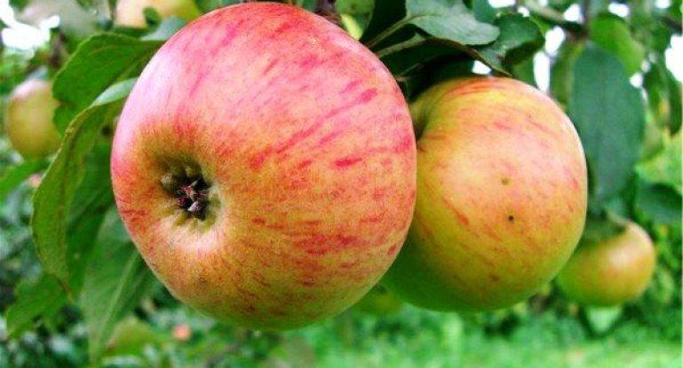 Яблоки, идеальные для приготовления джема — сорт Орловим 39
