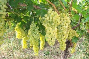 Сорт винограда Аркадия - характеристика с фото
