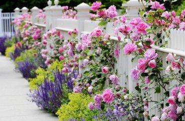 Где и как посадить лаванду на даче и дома семенами и в горшок?