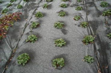 Выращивание клубники под черным укрывным материалом