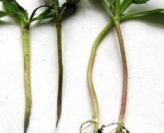 Базилик: выращивание из семян, когда сажать в открытый грунт