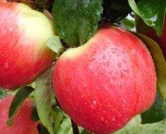 Как бороться с паршой на яблоне весной: средства для обработки дерева, инструкция с фото и видео