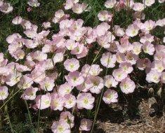 Энотера с розовыми цветками