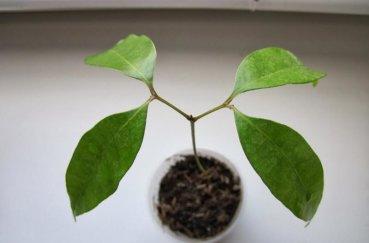 Рамбутан в домашних условиях - выращивание: размножение, посадка и уход