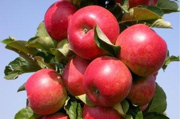 История выращивания колонновидных яблонь