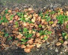 Чем подкормить клубнику после зимы