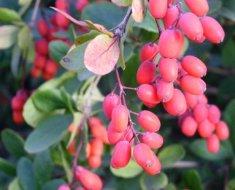Созревающие плоды барбариса
