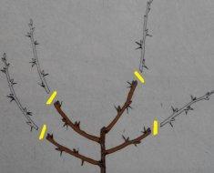 Обрезка крыжовника осенью, весной и летом: схемы и инструкции для начинающих