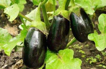 Как правильно выращивать баклажаны 94