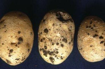 Что за сорт картофеля гала
