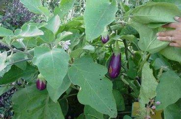Как правильно выращивать баклажаны в открытом грунте?