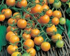 Когда сажать на рассаду и как выращивать помидоры черри в открытом грунте и теплице