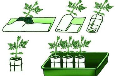 Как и когда пикировать рассаду капусты