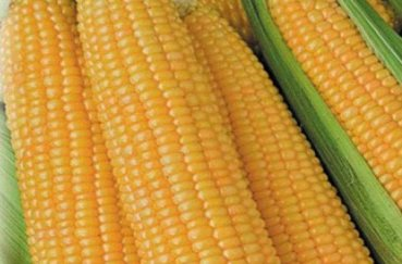 Посадка кукурузы семенами в открытый грунт когда и как правильно сажать