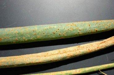 Как посадить лук порей на рассаду правильно