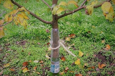 Что делать если кору яблони погрызли мыши