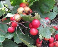 Поспевающие плоды боярышника