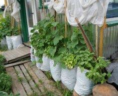 Выращивание и посадка огурцов в мешках
