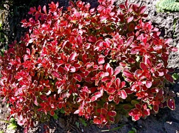 Яркие листья барбариса