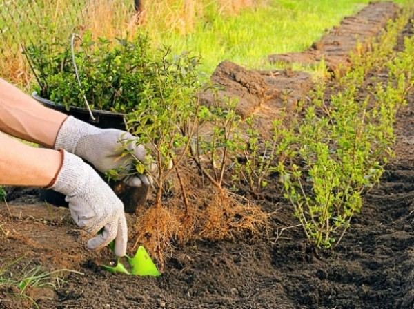 Кустики барбариса сажают в землю