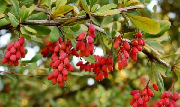 Плоды барбариса свисают гроздями