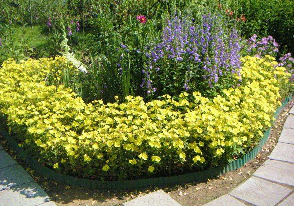 Энотера в сочетании с другими растениями