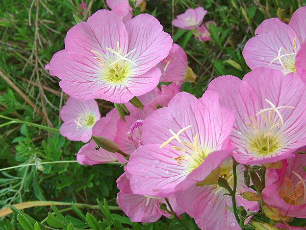 Цветение энотеры розовой