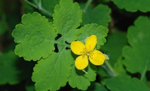 Цветок и листок чистотела