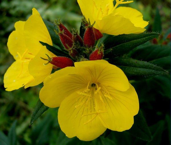 Раскрытые цветки и бутоны энотеры