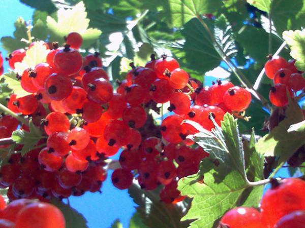 Грозди спелой красной смородины