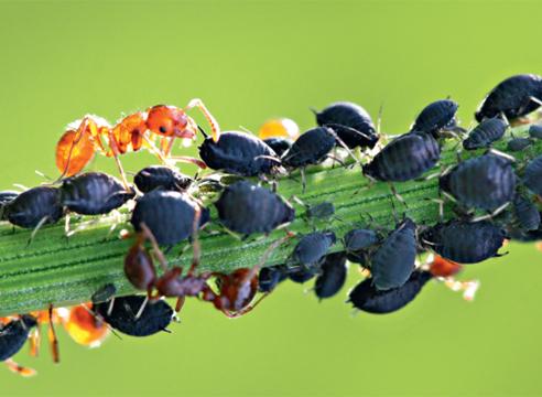 Чёрная тля и муравьи