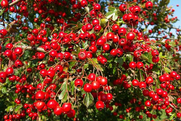 Куст боярышника усыпанный ягодами