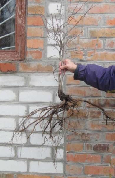 Саженец боярышника и его корневая система