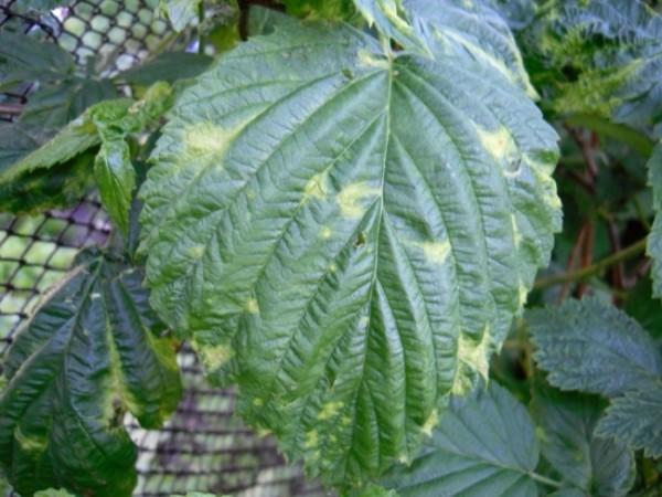 Мозаика на листьях малины