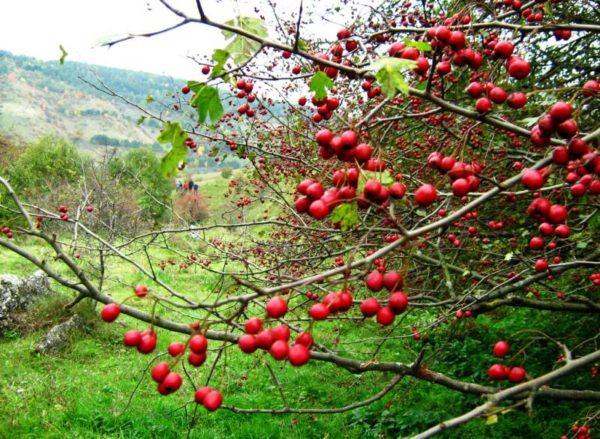 Спелые ягоды боярышника на фоне холмов