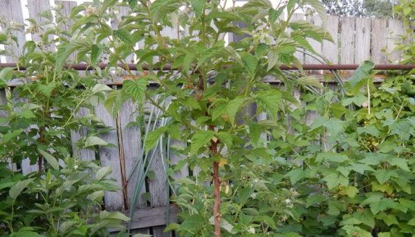 Побег малины в период вегетации