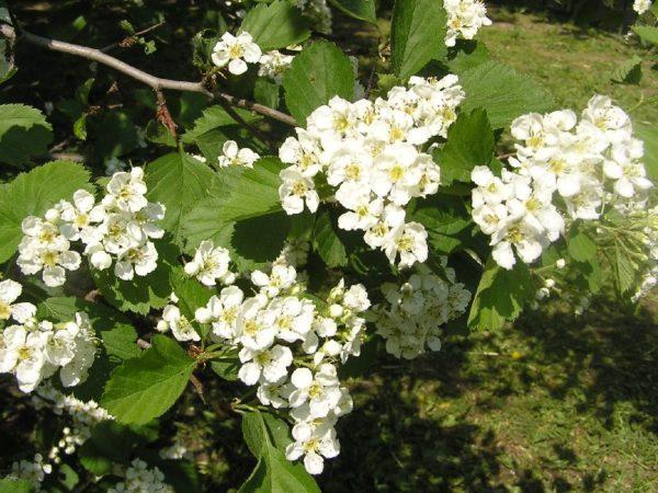 Цветение боярышника обыкновенного