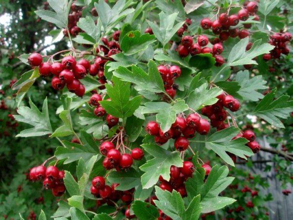 Россыпь спелых плодов боярышника