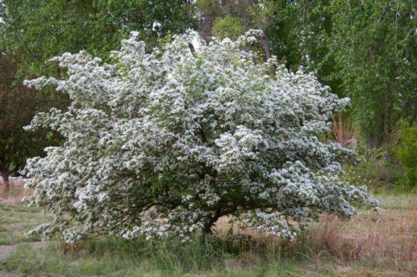 Взрослый куст боярышника в период цветения