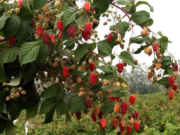 Много спелых ягод малины на ветке