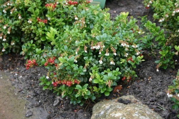 Второе цветение и ягоды брусники