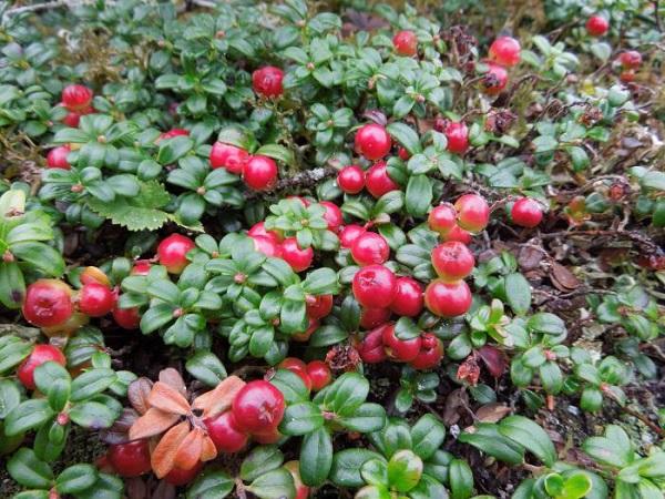 Спелые ягоды садовой брусники