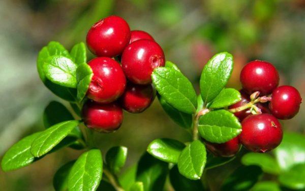 «Виноградная лоза с горы Ида» — все, что нужно знать о вкусной и полезной бруснике